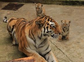 Ушаков навестит родившихся в Рижском зоопарке тигрят