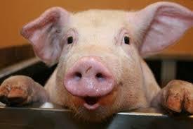 Женщина в Приморье съела арестованную свинью